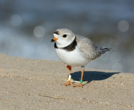 piping_plover_282182756436229