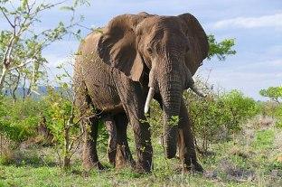African_Elephant_(Loxodonta_africana)_bull_(31100819046)